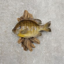 Bluegill Taxidermy Fish Mount #20915 For Sale @ The Taxidermy Store
