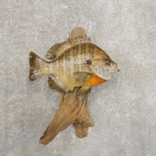 Bluegill Taxidermy Fish Mount #20945 For Sale @ The Taxidermy Store