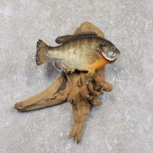 Bluegill Taxidermy Fish Mount #22279 For Sale @ The Taxidermy Store
