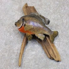 Bluegill Taxidermy Fish Mount #22281 For Sale @ The Taxidermy Store