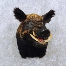 Giant Boar Taxidermy Shoulder Mount For Sale
