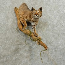 Bobcat 1/2-Life-Size Mount For Sale #16543 @ The Taxidermy Store