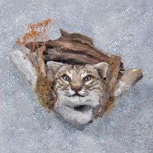 Wall Hanging Bobcat Head Mount #10110 For Sale @ The Taxidermy Store