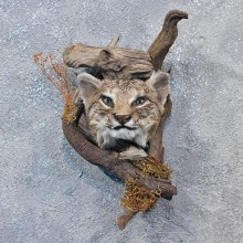 Wall Hanging Bobcat Head Mount #10111 For Sale @ The Taxidermy Store