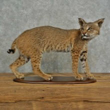 Bobcat Life-Size Taxidermy Mount For Sale