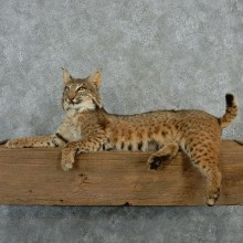 Laying Bobcat Mount