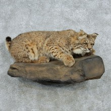Standing Bobcat Life-Size Mount
