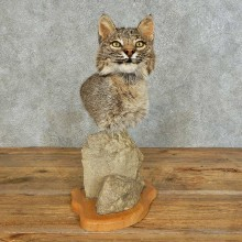 Bobcat Shoulder Pedestal Taxidermy Mount For Sale