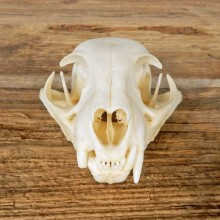 Bobcat Skull Taxidermy For Sale