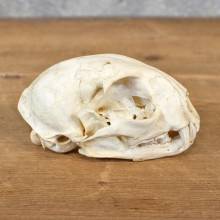 Bobcat Taxidermy Full Skull Mount #12135 For Sale @ The Taxidermy Store