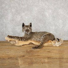 Dark Phase Bobcat Life-Size Taxidermy Mount For Sale