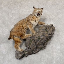 Bobcat Life-Size Mount For Sale #18913 @ The Taxidermy Store