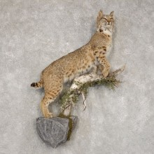 Bobcat Life-Size Mount For Sale #21408 @ The Taxidermy Store