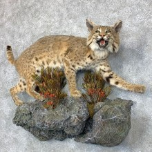 Bobcat Life-Size Mount For Sale #22850 @ The Taxidermy Store
