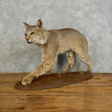 Bobcat Life-Size Mount For Sale #17568 @ The Taxidermy Store
