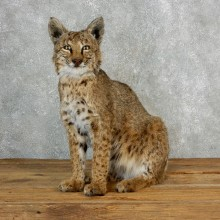 Bobcat Life-Size Mount For Sale #17824 @ The Taxidermy Store