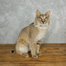 Bobcat Life-Size Mount For Sale #17843 @ The Taxidermy Store
