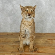 Bobcat Life-Size Sitting Taxidermy Mount For Sale