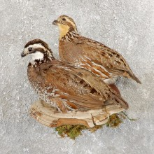 Bobwhite Quail Bird Mount For Sale #19747 @ The Taxidermy Store