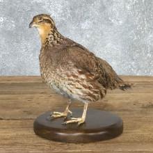Bobwhite Quail Bird Mount For Sale #19796 @ The Taxidermy Store