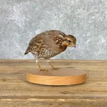 Bobwhite Quail Bird Mount For Sale #22933 @ The Taxidermy Store