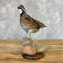 Bobwhite Quail Bird Mount For Sale #22967 @ The Taxidermy Store