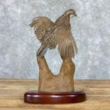 Bobwhite Quail Bird Mount For Sale #22969 @ The Taxidermy Store