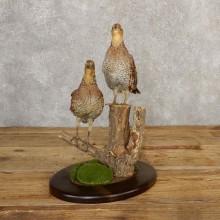 Bobwhite Quail Pair Taxidermy Bird Mount For Sale