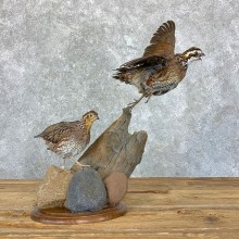 Bobwhite Quail Pair Bird Mount For Sale #22965 @ The Taxidermy Store