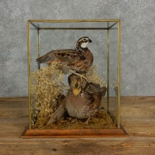 Bobwhite Quail Bird Mount For Sale #17125 @ The Taxidermy Store