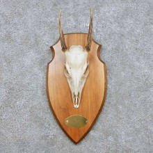 Brocket Deer Skull & Antler European Mount For Sale #14443 @ The Taxidermy Store
