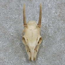 Brocket Deer Skull European Mount For Sale #15169 @ The Taxidermy Store