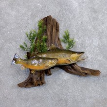 Brook Trout Fish Mount For Sale #18681 @ The Taxidermy Store