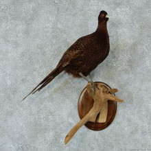 Brown Pheasant Taxidermy Bird Mount For Sale