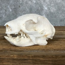 Brown-throated Three-toed sloth Skull Mount For Sale #19587 @ The Taxidermy Store