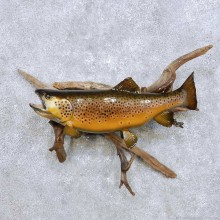 """18"""" Brown Trout Taxidermy Fish Mount For Sale"""