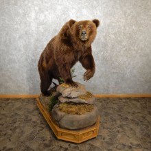 Brown Bear Life Size Taxidermy Mount For Sale #19439 @ The Taxidermy Store