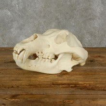 Brown Bear Life-Size Mount For Sale #17479 @ The Taxidermy Store