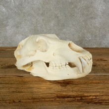 Alaskan Brown Bear Full Skull Mount For Sale