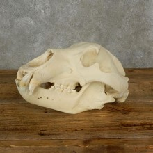 Kodiak Brown Bear Full Skull For Sale