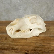 Brown Bear Full Skull For Sale