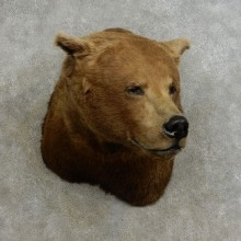 Brown Bear Shoulder Mount For Sale #17241 @ The Taxidermy Store