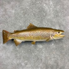 Brown Trout Fish Mount For Sale #21609 @ The Taxidermy Store