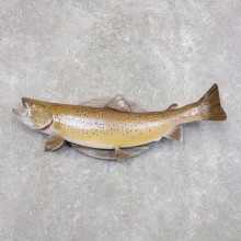 Brown Trout Fish Mount For Sale #22277 @ The Taxidermy Store