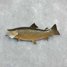Brown Trout Fish Mount For Sale #18241 @ The Taxidermy Store