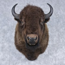 Buffalo (Bison) Shoulder Mount #12502 For Sale @ The Taxidermy Store