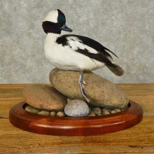 Bufflehead Duck Bird Mount For Sale #16358 @ The Taxidermy Store