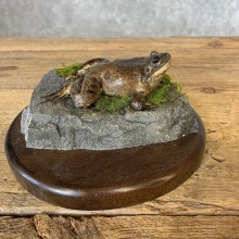 Bullfrog Taxidermy Mount For Sale #21362 @ The Taxidermy Store