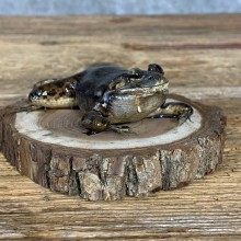 Bullfrog Taxidermy Mount For Sale #21379 @ The Taxidermy Store