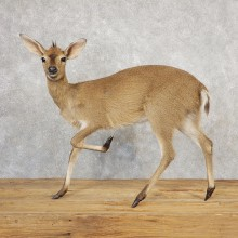 Female Bush Duiker Life-Size Taxidermy Mount For Sale #21116 @ The Taxidermy Store